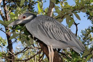 800px-Yellow-crowned_Night_Heron_277828060